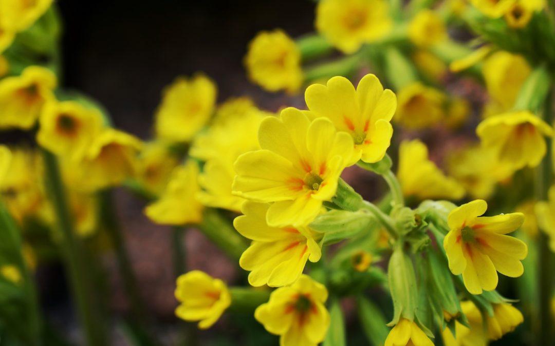 Tavaszi kankalin – Primula veris L. (Huds.)