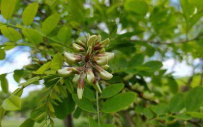 Робиния ложноакациевая «белая акация» (Robinia pseudoacacia L.)