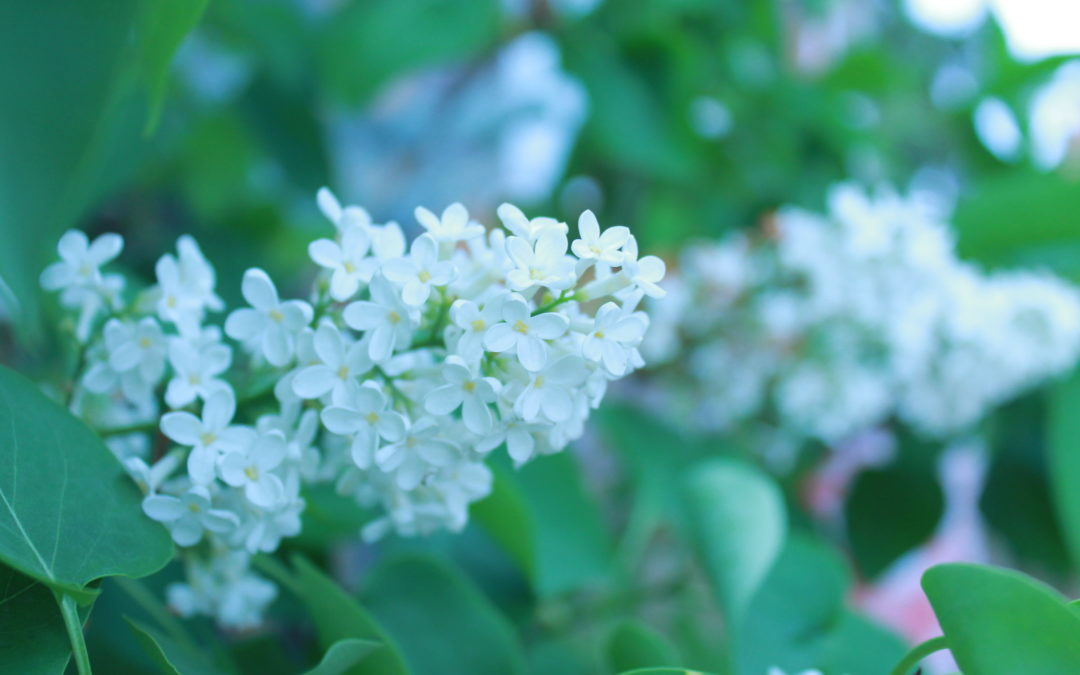 Májusi orgona (Syringa vulgaris L.)